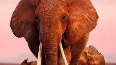The-Elephant-Queen
