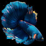 Free Download Betta Fish Live Wallpaper FREE 1.4 APK