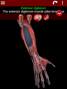 Muscular System 3D anatomy v2.0.8 screenshots 11
