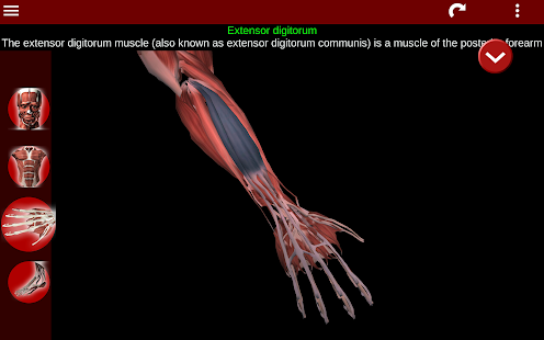 Muscular System 3D anatomy v2.0.8 screenshots 19