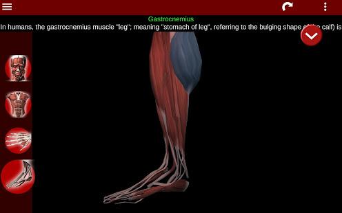 Muscular System 3D anatomy v2.0.8 screenshots 20