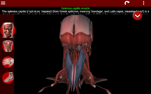 Muscular System 3D anatomy v2.0.8 screenshots 22