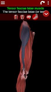 Muscular System 3D anatomy v2.0.8 screenshots 4