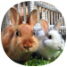 Free Download How to Take Care of a Pet Rabbit (Guide) 1.5 APK